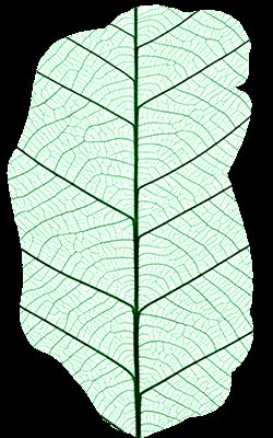 leaf veins image
